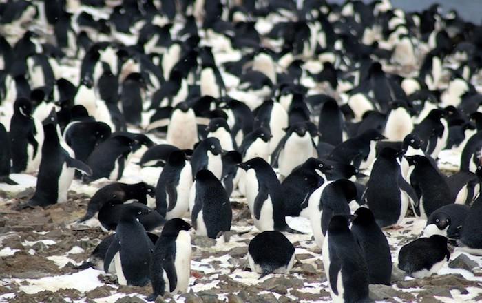 Pinguinos 2
