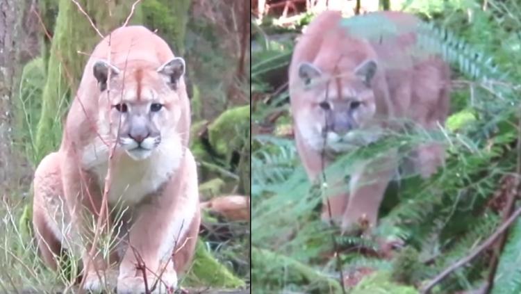 Cougar stalks canada tiempo