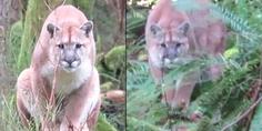 Relacionada cougar stalks canada tiempo