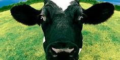Relacionada vaca 2