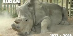 Relacionada rinoceronte blanco sudan