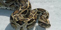 Relacionada zmija piton