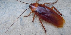 Relacionada cucarachas