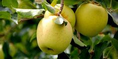 Relacionada manzana cuauht