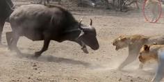 Relacionada bufalo leonas