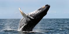 Relacionada ballena