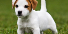 Relacionada jackrussellterrier puppy