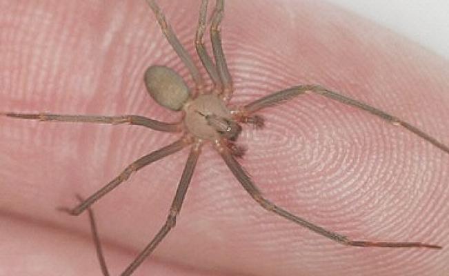 Innovan producción de antiveneno para picadura de araña violinista