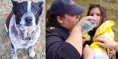 Relacionada max perro salva ni a blue heeler anciano