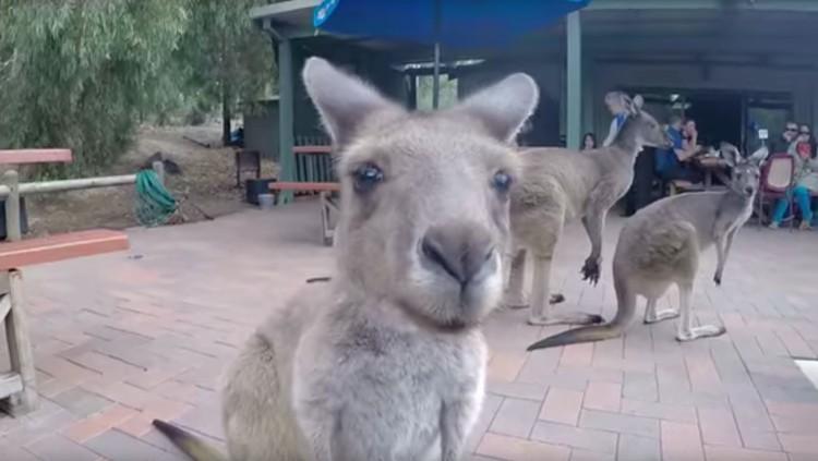 Prohíben a unos canguros visitar su bar favorito — Solo en Australia