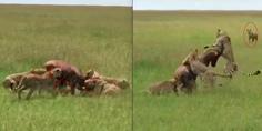 Relacionada ant lope contra hiena y guepardos