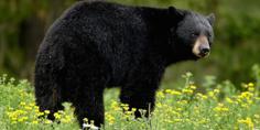 Relacionada video  taxista trato  de tomar selfie con oso y termino   muerto