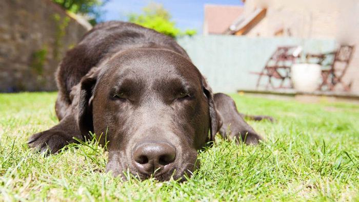 Mascota perro golpe de calor