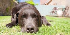 Relacionada mascota perro golpe de calor