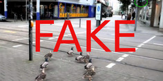 Relacionada fake video patos cruzan calle alemania