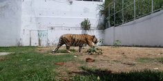 Relacionada tigre