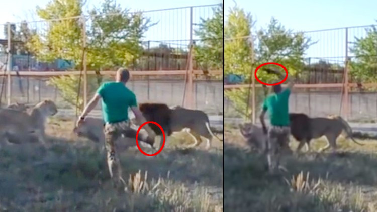 Cuidador temerario espantó a un grupo de 7 leones a