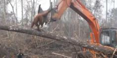 Relacionada orangutan rescatado ong protectora animales