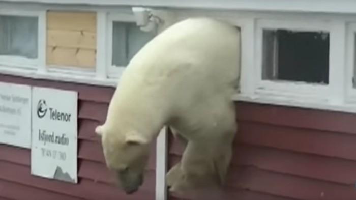 Oso polar atorado