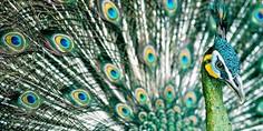 Relacionada green peafowl  hanoi