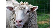 Relacionada posible resurgimiento de la viruela bovina en reino unido