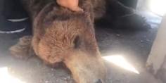 Relacionada liberan oso desnutrido