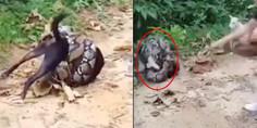 Relacionada serpiente perro
