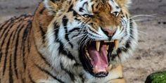 Relacionada tiger 500118 960 720.jpg 539665225