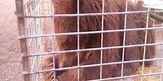 Relacionada oso negro chihuahua