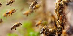 Relacionada abejas