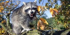 Relacionada mapache ataca gato mont s 04 julio