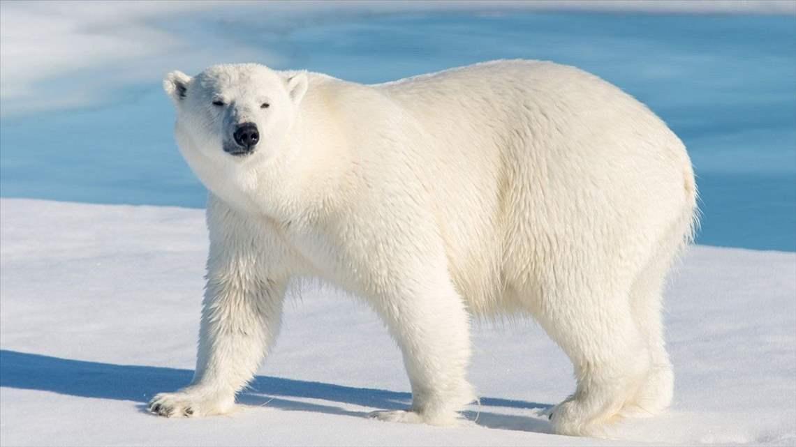 Salvó a sus hijos y murió por ataque de oso polar — Héroe