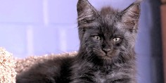 Relacionada gato cara humano