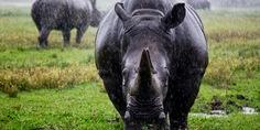 Relacionada rinoceronte negro