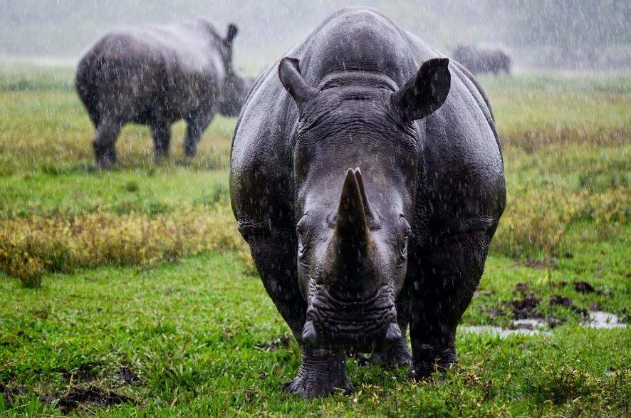 Mueren ocho rinocerontes negros mientras eran llevados a un santuarios
