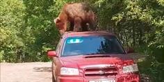 Relacionada oso beb  auto rusia