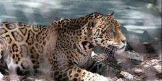 Relacionada jaguar escapes enclosure at new orleans zoo kills 6 animals