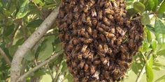 Relacionada bees