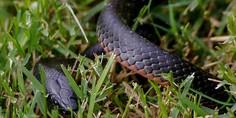 Relacionada serpiente nueva