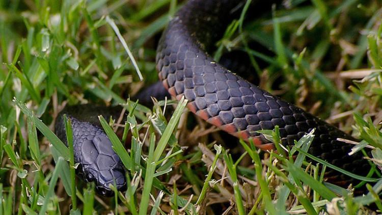 Serpiente nueva
