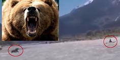 Relacionada oso grizzli