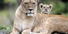 Relacionada leona cachorro