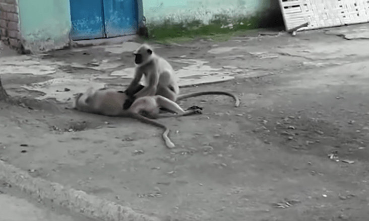 Este mono intenta revivir a su amigo electrocutado