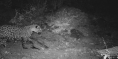Relacionada jaguar chihuahua