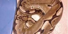 Relacionada serpiente pit n
