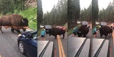 Relacionada bisonte molestado yellowstone