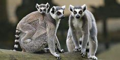Relacionada lemures biens