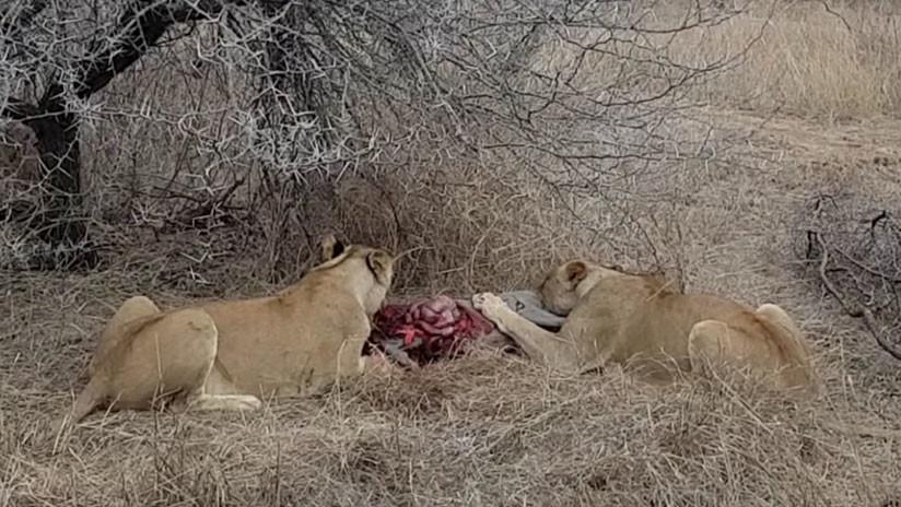 Leonas hienas safari