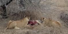 Relacionada leonas hienas safari