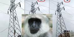 Relacionada mono india cae al vacio